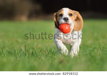 cute Beagle puppy 3 months brings happy over the meadow with a red ball