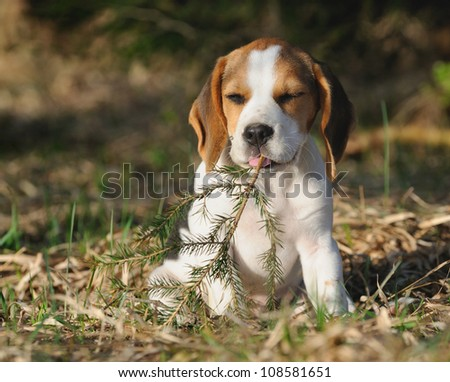 cute Beagle puppy 3 months plays with bough in the forest in the evening - stock photo
