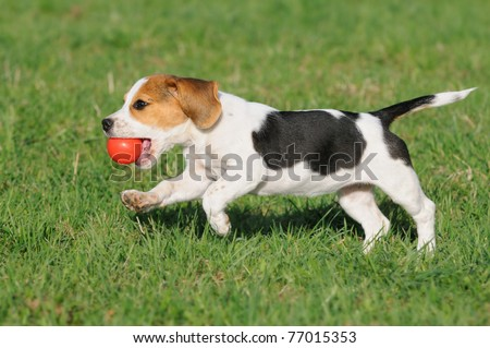 cute Beagle puppy 3 months running happy over the meadow with a red ball