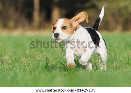 cute Beagle puppy 3 months running happy over the meadow with flying ears