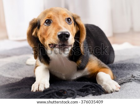 Cute beagle Puppy on a Blanket. Selective focus - stock photo