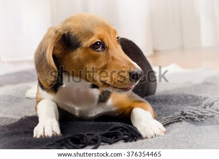 Cute beagle Puppy on a soft Blanket. Selective focus - stock photo