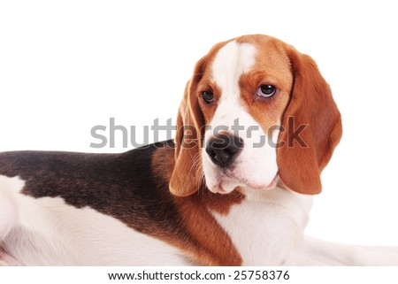 Cute beagle puppy on a white background
