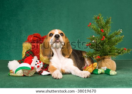 Cute Beagle puppy on green background with christmas gift, toys and tree