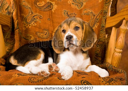 Cute Beagle puppy on wooden chair - stock photo