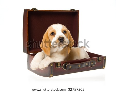 Cute Beagle puppy sitting inside brown suitcase, on white background