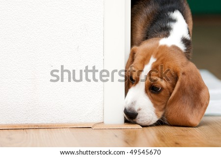 Cute beagle puppy. Small dog looking curiously