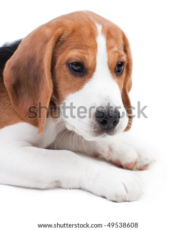 Cute beagle puppy. Small dog on white background