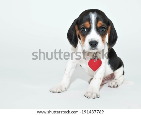 Cute Beagle puppy wearing a collar and a heart shaped tag sitting on a white background with copy space. - stock photo