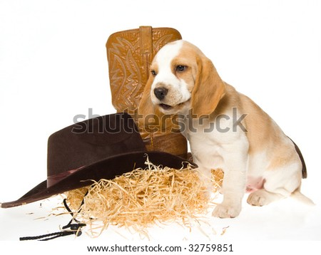 Cute Beagle puppy with western hat, boots and straw, on white background