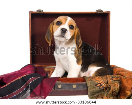 Cute Beagle tricolor puppy inside suitcase, on white background