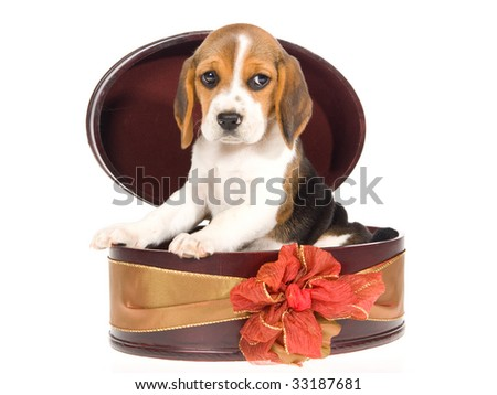 Cute Beagle tricolour puppy in burgundy gift box, on white background
