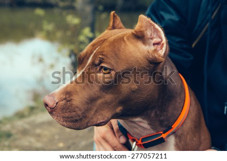 Cute beautiful dog pit bull - stock photo