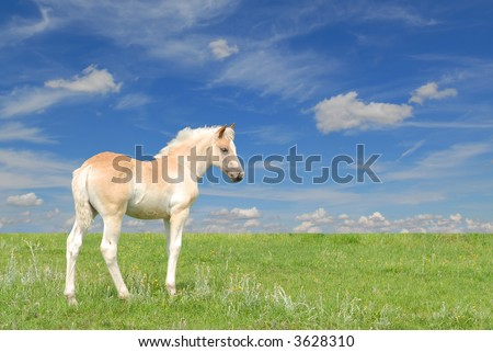 cute beautiful haflinger filly in a green meadow with blue sky background - stock photo