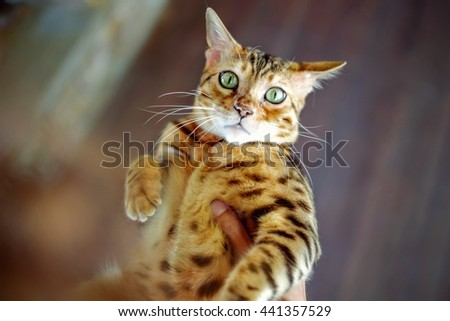 Cute Bengal Cat being held by his owner - stock photo