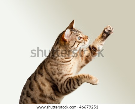 Cute bengal cat reaching up for unknown object and showing its claws - stock photo