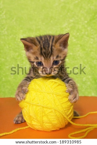 Cute Bengal kitten on colorful orange and green background with ball of yellow yarn. - stock photo