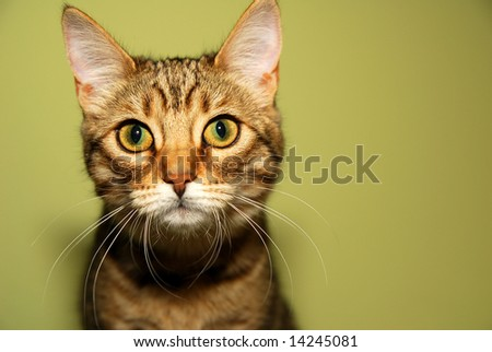 Cute Bengali kitten is looking straight into the camera. - stock photo