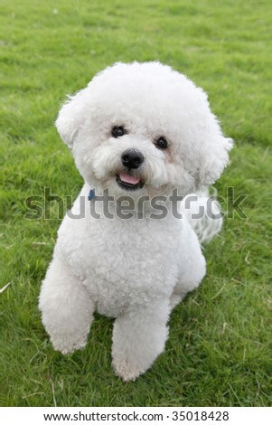 Cute Bichon Frise lifts a paw to Beg - stock photo