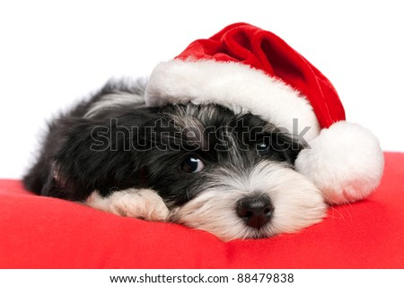 Cute Bichon Havanese puppy dog in Christmas - Santa hat is lying on a red cushion. Isolated on a white background