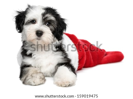 Cute Bichon Havanese puppy dog is lying in a Christmas - Santa boots. Isolated on a white background - stock photo