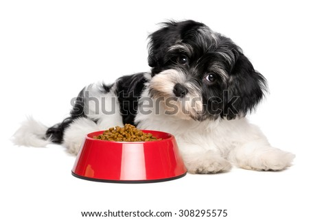 Cute Bichon Havanese puppy dog is lying next to a red bowl of dog food and looking at camera - isolated on white background - stock photo