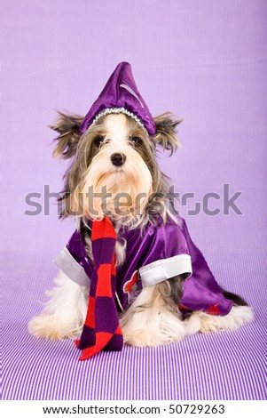 Cute Biewer a la pon pom puppy with wizard outfit on lilac background - stock photo