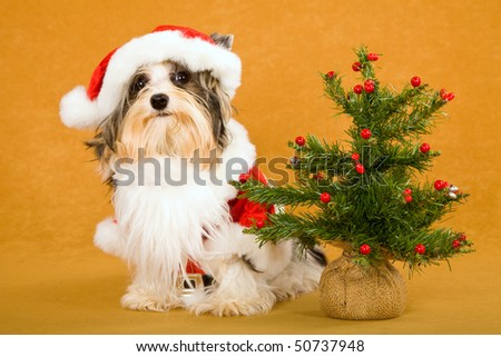 Cute Biewer puppy in Santa outfit with Christmas tree and gift