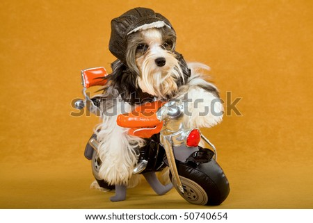 Cute Biewer puppy on toy motorbike with leather outfit - stock photo
