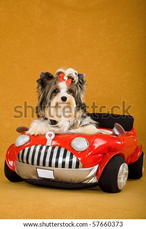 Cute Biewer puppy with leather jacket in red toy car - stock photo