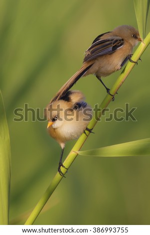 cute bird Bearded Reedling / Panurus biarmicus