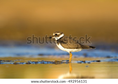 cute bird Common Ringed Plover