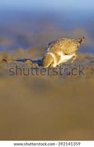 cute bird feeding  Kentish Plover / Charadrius alexandrinus - stock photo
