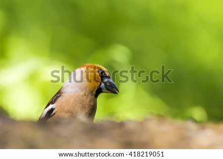 cute bird Hawfinch high resolution Hawfinch / Coccothraustes coccothraustes