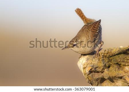 cute bird Wren  Eurasian Wren / Troglodytes troglodytes - stock photo