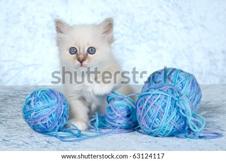 Cute Birman kitten with blue balls of yarn knitting wool - stock photo
