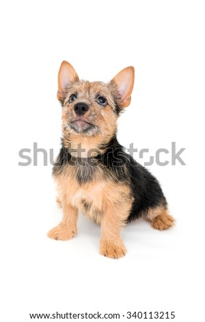 Cute black and tan color Norwich Terrier puppy dog isolated on white background