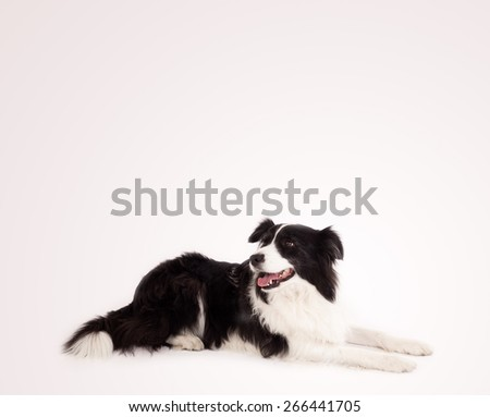 Cute black and white border collie with empty space - stock photo