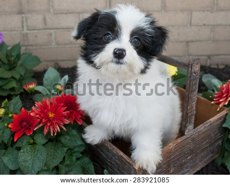 Cute black and white Havanese puppy sitting in a basket with flowers around her.