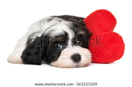 Cute black and white lover Valentine havanese puppy dog with a red heart - isolated on white background - stock photo