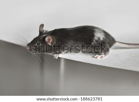 Cute black and white mouse - stock photo