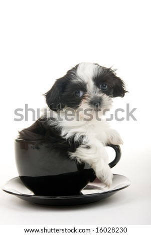 Cute black and white Shih Tzu puppy in a teacup - well, actually it's more of a soup bowl and saucer - but still very cute. Shot on white background. - stock photo