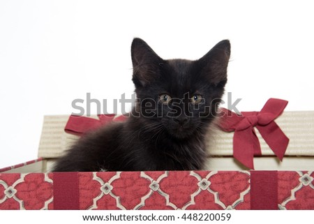 Cute black cat inside of Christmas box isolated on white background