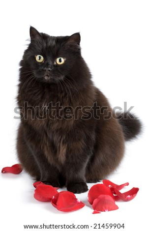 cute black cat sitting in rose petals isolated - stock photo