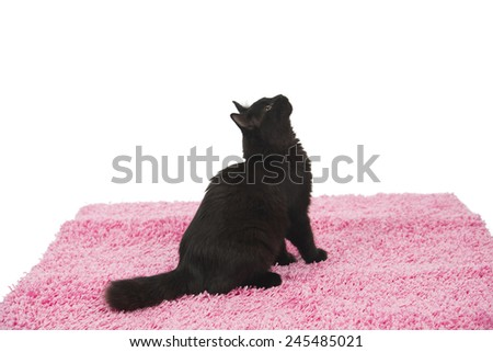 Cute black cat sitting on a pink carpet while posing against a white background - stock photo