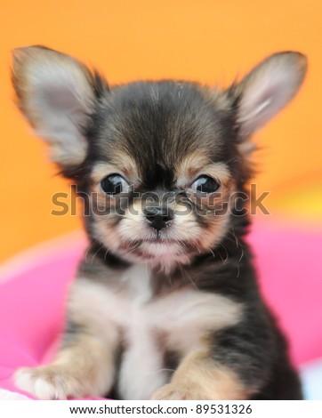 cute black chihuahua - stock photo