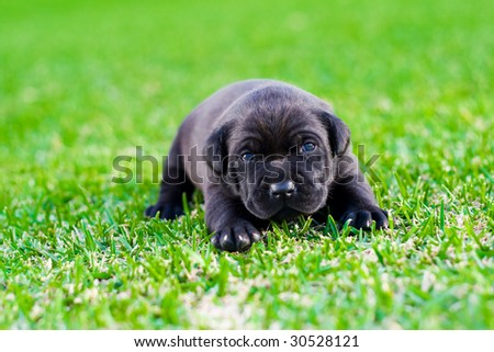 cute black chow puppy on green grass - stock photo