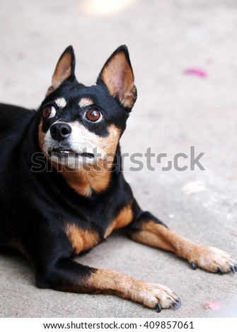 cute black fat lovely miniature pinscher dog with brown dog eyes smiling face close up resting outdoor on a country house's floor portraits view in summer time - stock photo