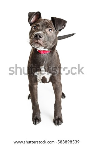 Cute black Labrador Retriever and Pitt Bull mixed breed puppy dog standing over white background looking up