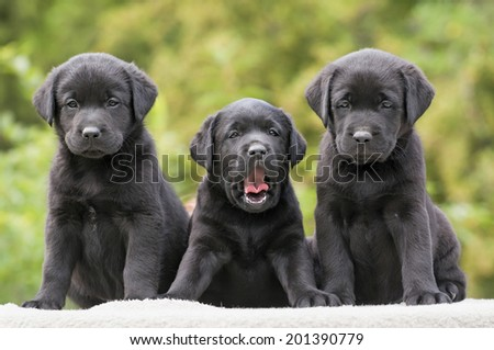 Cute black Labrador Retriever puppies - stock photo